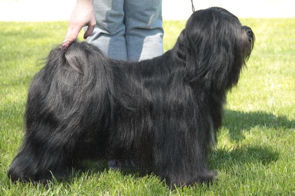Amelie stav lhun-po tibetan terriers