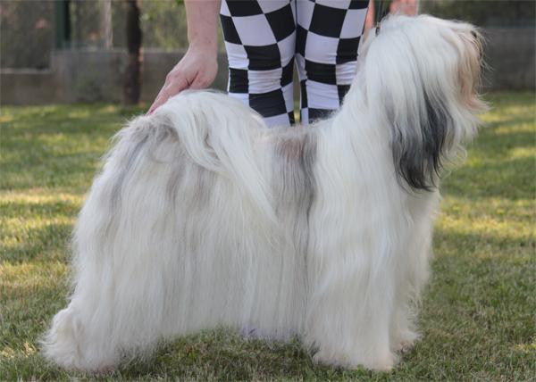 Casper 6 years lhun-po tibetan terriers