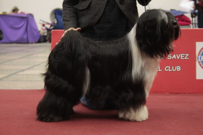 Devak ZG1 lhun-po tibetan terriers