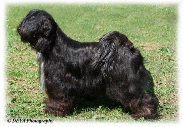 GALA lhun-po tibetan terriers