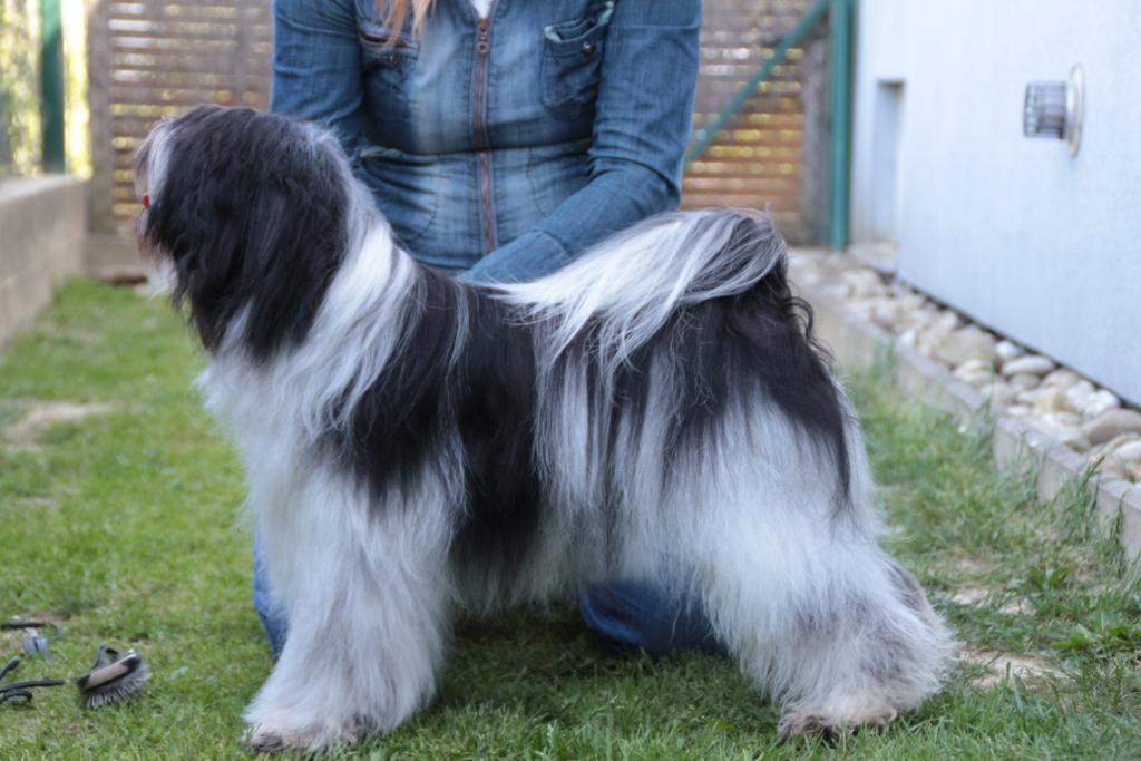 Rio 2 years 1 lhun-po tibetan terriers
