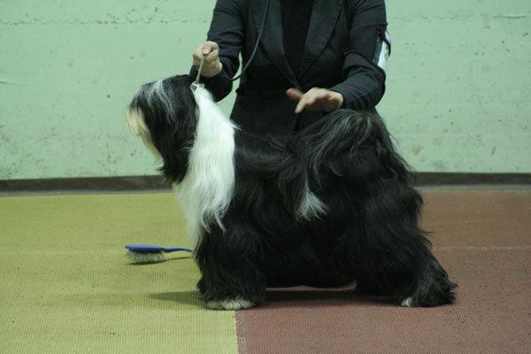 SHANTI lhun-po tibetan terriers