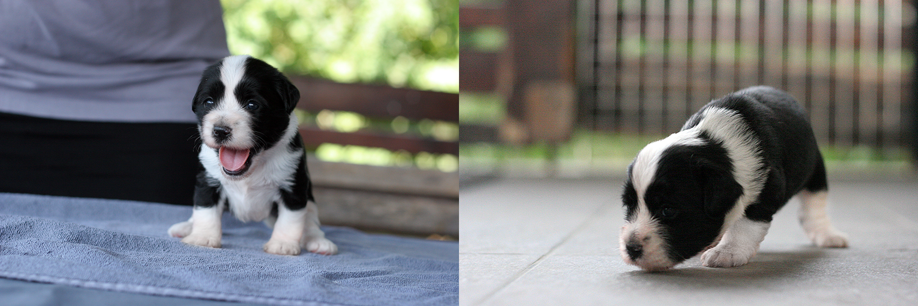 kona24 lhun-po tibetan terriers